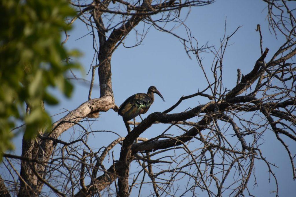 hadeda-ibis