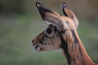 toek-toek, our rescued impala