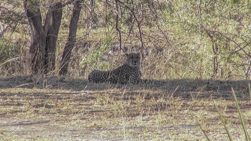 Roel Stausebach - Cheetah