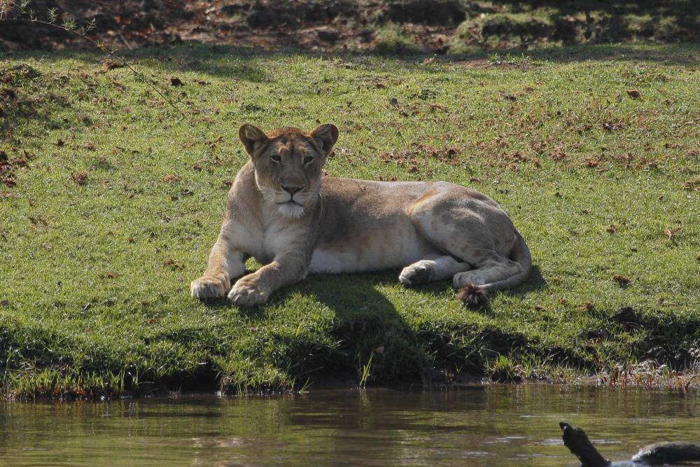 lioness001