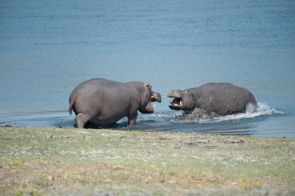 Hippo aggression SMALL