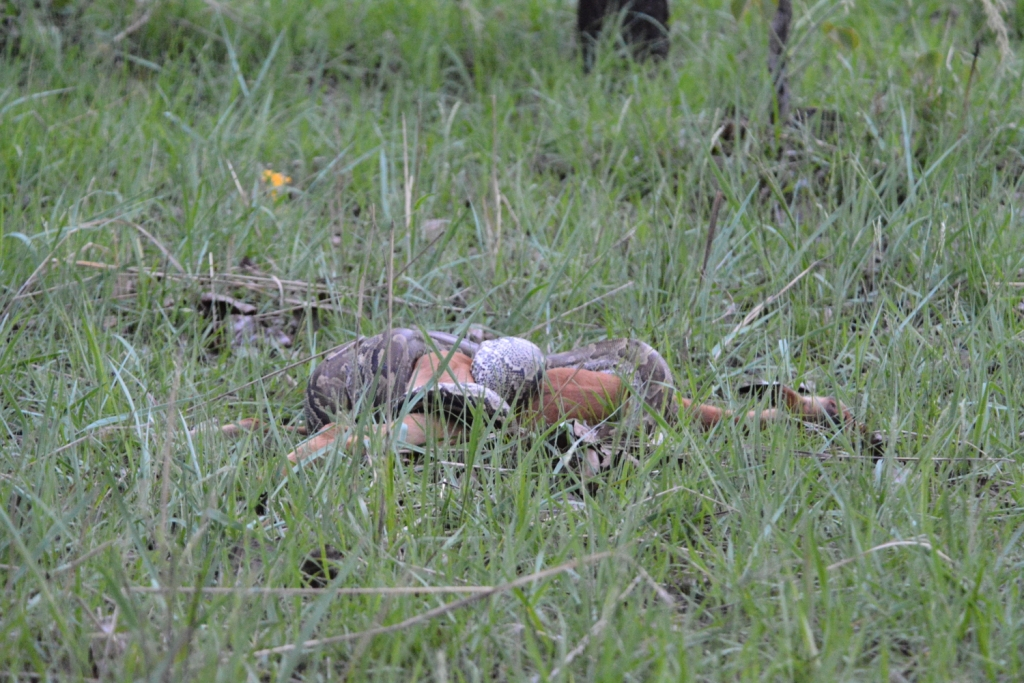 Python eating impala, Johna Turner,accipiter tours and trails 13