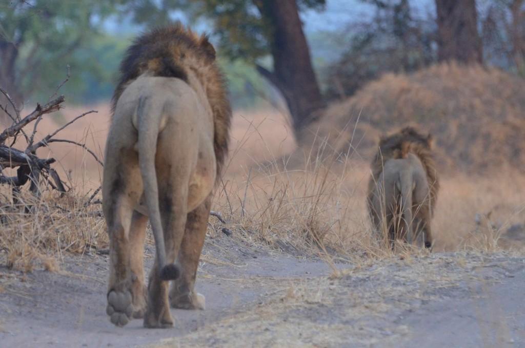 Delai lions3