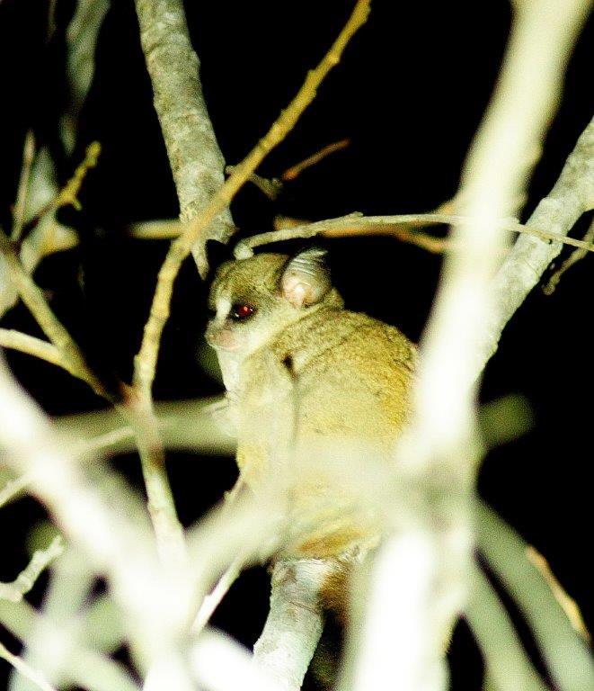 bushbaby lesser