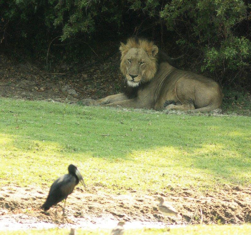 lion and stork