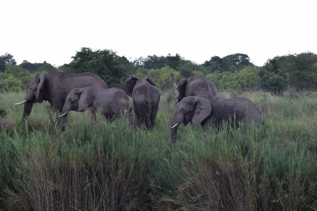 Elephants by Anna Toness