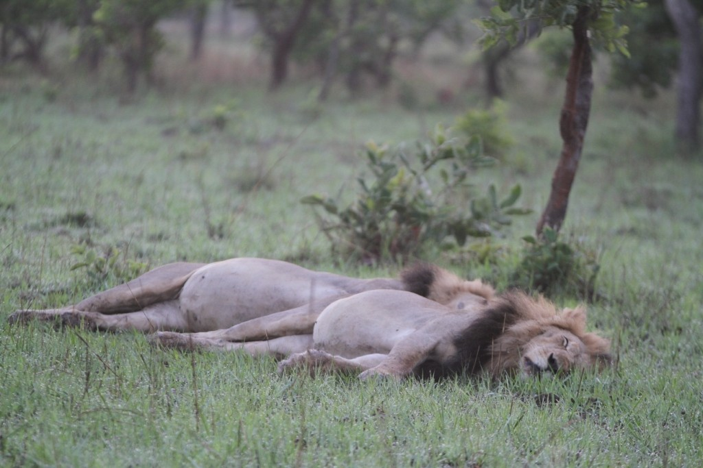 Hennie's lions