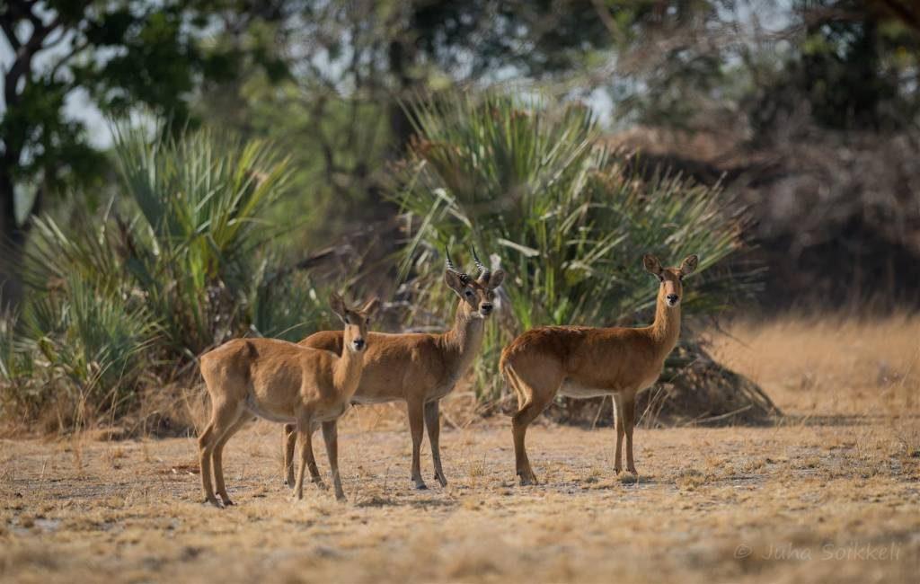 Puku's Kafue Zambia (Large)