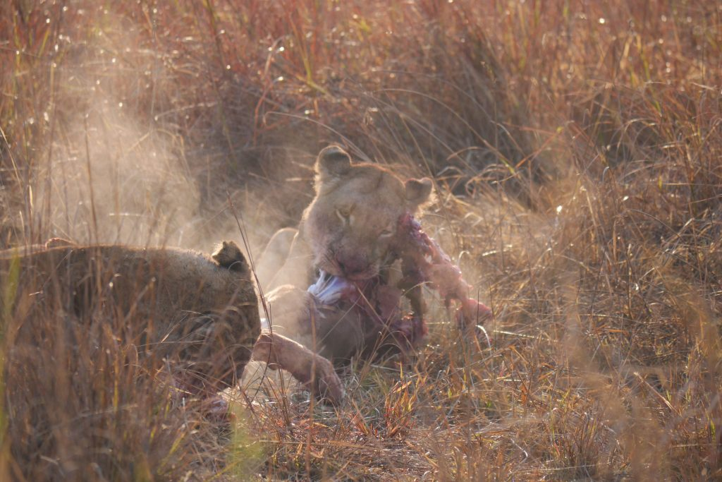 EARLY MORNING YOUNG PUKU KILL 3 LIONESSES