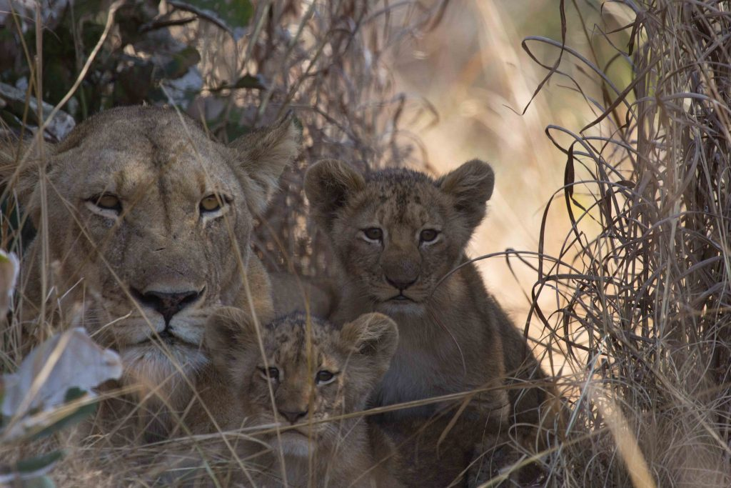 Diana with cubs