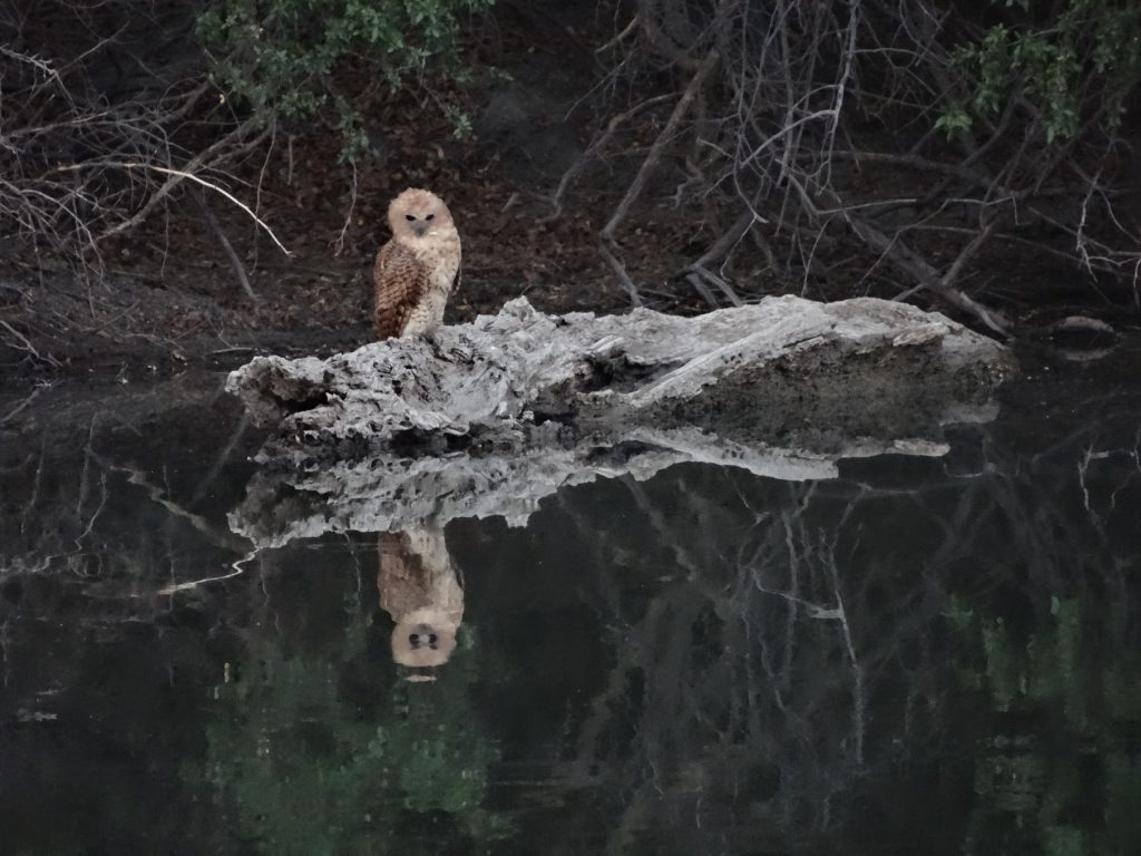 Ulrike Krusen, 31.10.18 Pel's fishing Owl_small